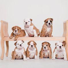 Bulldog Sky and her 7 children.