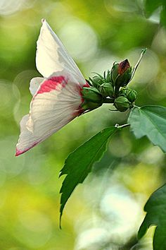 Pink and white Rose of Sharon. I grew up with one of these right outside my bedroom window. When I see pictures of a Rose of Sharon it is as close as I can ever get to home again.