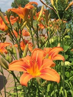 Beautiful lillies this year !