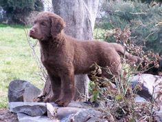 BRUSHWATERS CHESAPEAKES, Chesapeake Bay Retriever Puppies - Adorable
