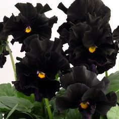 black pansies? it might just be time for me to start gardening. i had no idea flowers could be this badass.