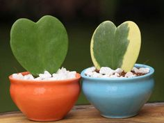 How to Grow and Care for Hoya - See more at: http://worldofsucculents.com/how-to-grow-and-care-for-hoya