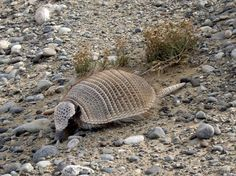 The dwarf armadillo of Patagonia, also called pichi,  or Zaedyus pichiy for its closest friends, is an uncommon member of its genus. Covered with jagged scales linked by a flexible skin,  he measures up to 1 foot and lives only in southern Agentina and Chile. According to the IUCN, it is a near threatened species.