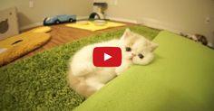 Click to see this adorable Exotic Shorthair kitten called Bun Bun.