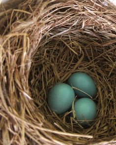 Found another egg in the robin's nest today. by small::bird, via Flickr