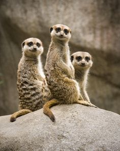 meerkats | Three Meerkats Photograph - Three Meerkats Fine Art Print