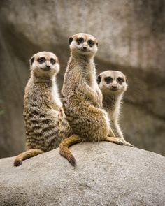 meerkats | Three Meerkats Photograph - Three Meerkats Fine Art Print