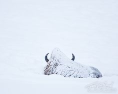 ~ photographer : Floris van Breugel - A snowy bison rests in the endless expanse of snow of the Lamar Valley in Wyoming's Yellowstone National Park.