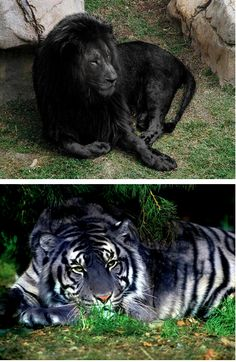Two of the rarest creatures on earth. The black lion and the black tiger.