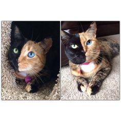 Two-faced cat Venus