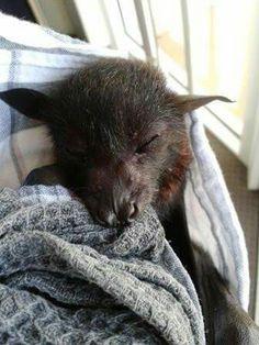 Black flying fox orphan