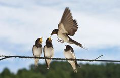 Fledgling swallows are photographed sitting on a telegraph wire as they are being fed in Corwen, North WalesPicture: Richard Bowler/Rex Features
