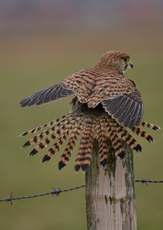 Falco tinnunculus by hans hillewaert**