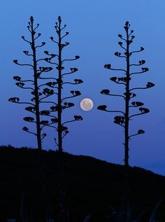 """""""The moon rising between agave trees, Miramar, Argentina"""" - photo by Luis Argerich/ Stocktrek Images, via Fulcrum Gallery Over The Moon, Stars And Moon, Miramar Argentina, You Are My Moon, Rhapsody In Blue, Two Trees, Bare Tree, Beautiful Moon, Beautiful Scenery"""