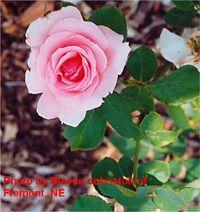 Buck rose - Ellen's Joy