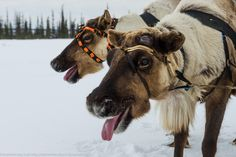 Flora and fauna :: Encyclopedia Flora And Fauna, Arctic, Reindeer, Camel, Russia, Animals, Animales, Animaux, Camels