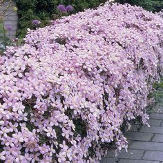 Clematis Montana 'Rubens' - Clematis are well known for being one of the… More