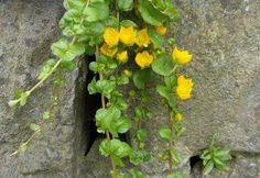 Creeping Jenny growing in a wall Pool Plants, Outdoor Plants, Tropical Plants, Thyme Plant, Flowering Succulents, Alpine Plants, Garden Doors, Rock Wall, Flower Wall
