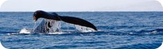 Oahu Whale Watching Tours Oahu Hawaii Whales Watching Watch Humpback Whales  morning best time