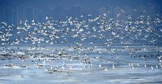 Pássaros voam sobre a Baía de Jinzhou que permanece coberta de neve em Dalian, na província de Liaoning, na China