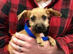 Gorgeous Loveing Cavapoo Puppies Binghamton Ny Free