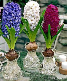 Hyazinthen günstig im Garten-Shop online kaufen