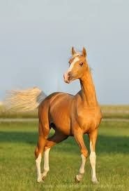Ocavango--Wielkopolski breed / a polish warmblood horse. They can be any solid color, but my favourite are Cremello, Palomino and Perlino Pretty Horses, Horse Love, Beautiful Horses, Animals Beautiful, Cute Animals, Simply Beautiful, Palomino, Golden Horse, Majestic Horse