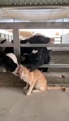 Golf Cart Discover Everyone loves cats Cute Little Animals, Cute Funny Animals, Funny Cats, Funny Horses, Cute Animal Videos, Cute Animal Pictures, Fluffy Cows, Cute Cows, Tier Fotos