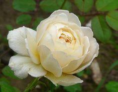 Rosa 'Claire Austin' Claire Austin, David Austin Roses, Ronsard Rose, Rose Varieties, Coming Up Roses, Blooming Rose, White Gardens, Love Rose, English Roses