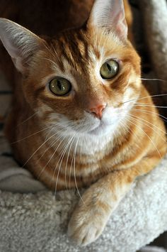 This group is for anything about cats. All cat lovers are welcome. Cute Cats And Kittens, Baby Cats, Kittens Cutest, Ragdoll Kittens, Funny Kittens, Bengal Cats, White Kittens, Pretty Cats, Beautiful Cats