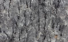 Burnt out trees outside Kinglake that were destroyed by fire are viewed from this aerial shot on February At least 65 people were killed and entire towns razed in one of the worst wildfire disasters in Australian history © Guardian Newspapers New Pictures, Cool Photos, Newspaper Photo, Australian Continent, Extreme Weather, Tree Of Life, Climate Change, Burns, City Photo