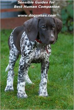 The German Shorthaired Pointer (GSP) was bred at the turn of the nineteenth century in Germany with the end goal of hunting. It is believed that there Gsp Puppies, Pointer Puppies, Pointer Dog, Love My Dog, German Shorthaired Pointer, Best Dog Breeds, Hunting Dogs, German Shepherd Dogs, Cute Dogs