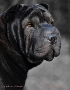 Qi Ming Xing Luxurious Beauty - Qi Ming Xing shar pei kennel - Picasa Web Albums