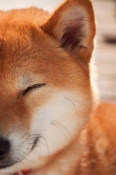 Smile Shiba Inu.