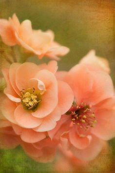 Peach and Green Flowers Bokeh Orange Flowers, My Flower, Beautiful Flowers, Shades Of Peach, Peach Blush, Peach And Green, Peach Blossoms, Peach Colors, Soft Colors
