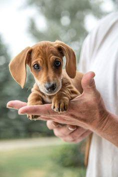 tiny doxie puppy