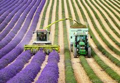 There are few things as beautiful and scenic (and as fragrant) as a field full of lavender in full bloom. Even when they're being harvested, the organized rows of flowers and the farmers' methodical work strike a beautiful contrast.