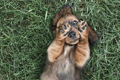 © Paw Prints-Pet Portraits by Charlene | Dachshund puppy portraits, lifestyle dog photography