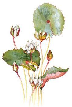 Azolla caroliniana - watercolour