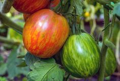 plants wilting 19 Exciting Tomato Varieties To Try Growing This Year Herr Stripey Tomate Tomato Garden, Tomato Plants, Tobacco Mosaic Virus, Determinate Tomatoes, Cherokee Purple, Green Zebra, Canning Tomatoes, Tomato Cages, Alcohol