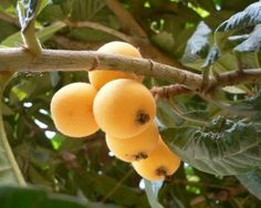 Loquat (Eriobotrya japonica) care and propagation information Ragusa Sicily, Catania, Beautiful Fruits, Landscaping Plants, Propagation, Fruits And Vegetables, Seeds, Japan, Orange