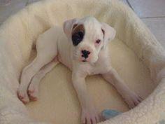White baby boxer <3