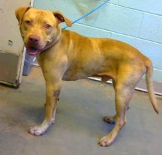 9 11 16 Ajax - URGENT - Dekalb County Animal Shelter in Decatur, Georgia - ADOPT OR FOSTER - 1 year old Male American Pit Bull Mix