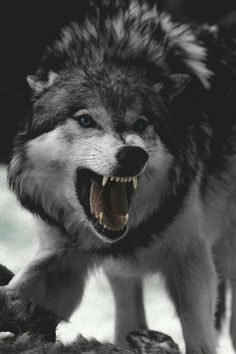 Timber Wolf or Druid