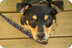 Toronto/GTA, ON - Miniature Pinscher/Beagle Mix. Meet GERRY, a dog for adoption. http://www.adoptapet.com/pet/11205071-torontogta-ontario-miniature-pinscher-mix