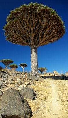 Dragon's blood trees (Dracaena cinnabari) of the Socotra archipelago in the Indian Ocean • original source not found