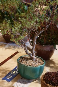 Succulent Bonsai, Bonsai Garden, Cacti And Succulents, Planting Succulents, Jade Tree, Bonsai Styles, Gardening Tips, Cactus, Ideas