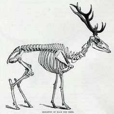 Original print of the red deer (Cervus elaphus). Red deer are one of the largest deer species. They inhabit most of Europe, and are an excellent meat source (Venison). This is the perfect print for the cabin wall or man cave. An excellent gift for the hunting buff or Natural History enthusiast.