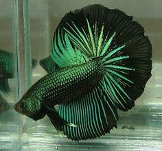 Some interesting betta fish facts. Betta fish are small fresh water fish that are part of the Osphronemidae family. Betta fish come in about 65 species too! Pretty Fish, Cool Fish, Beautiful Fish, Animals Beautiful, Beautiful Pictures, Colorful Fish, Tropical Fish, Freshwater Aquarium, Aquarium Fish