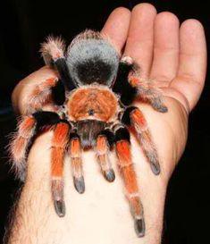 Tarantula Hub: Top 10 tarantulas for beginner Pet Tarantula, Pet Spider, Human Babies, Spiders, Aspen, Bugs, Top, Spinning, Spider